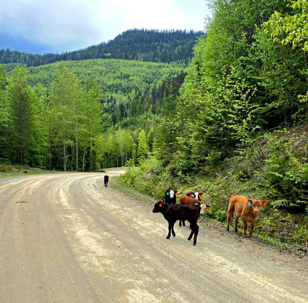 cows on the road to Johnson Lake BC