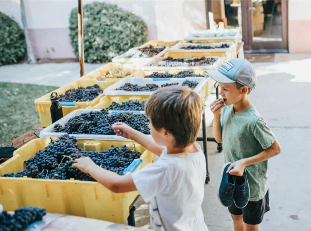 kids harvesting grapes at family-friendly california wineries